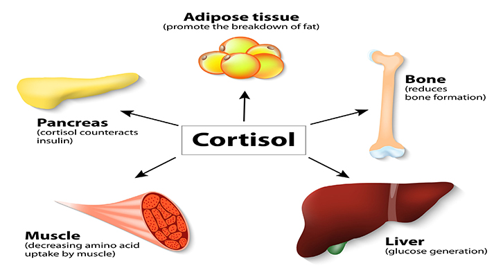 The Role of Cortisol in Bodybuilding