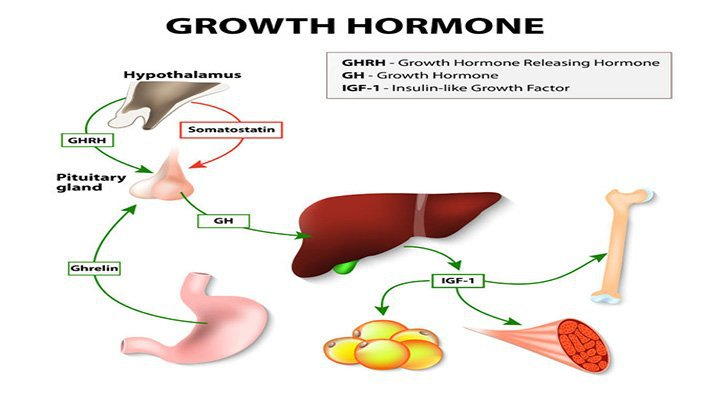 What Is Human Growth Hormone Infographic