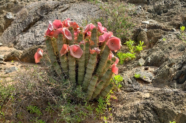 What Is Hoodia Gordonii?