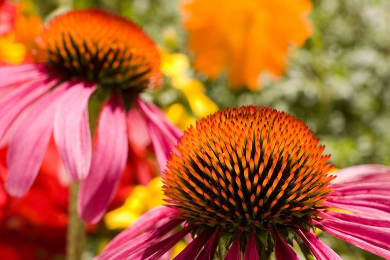 Why Echinacea is a Great Remedial Herb