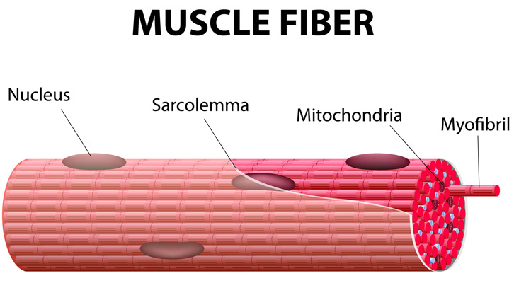 What Is Myofibrillar Hypertrophy?