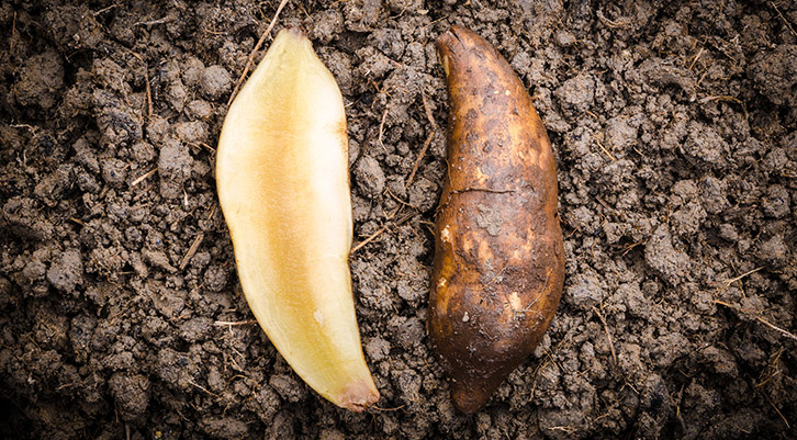 Yacon Root Health Benefits